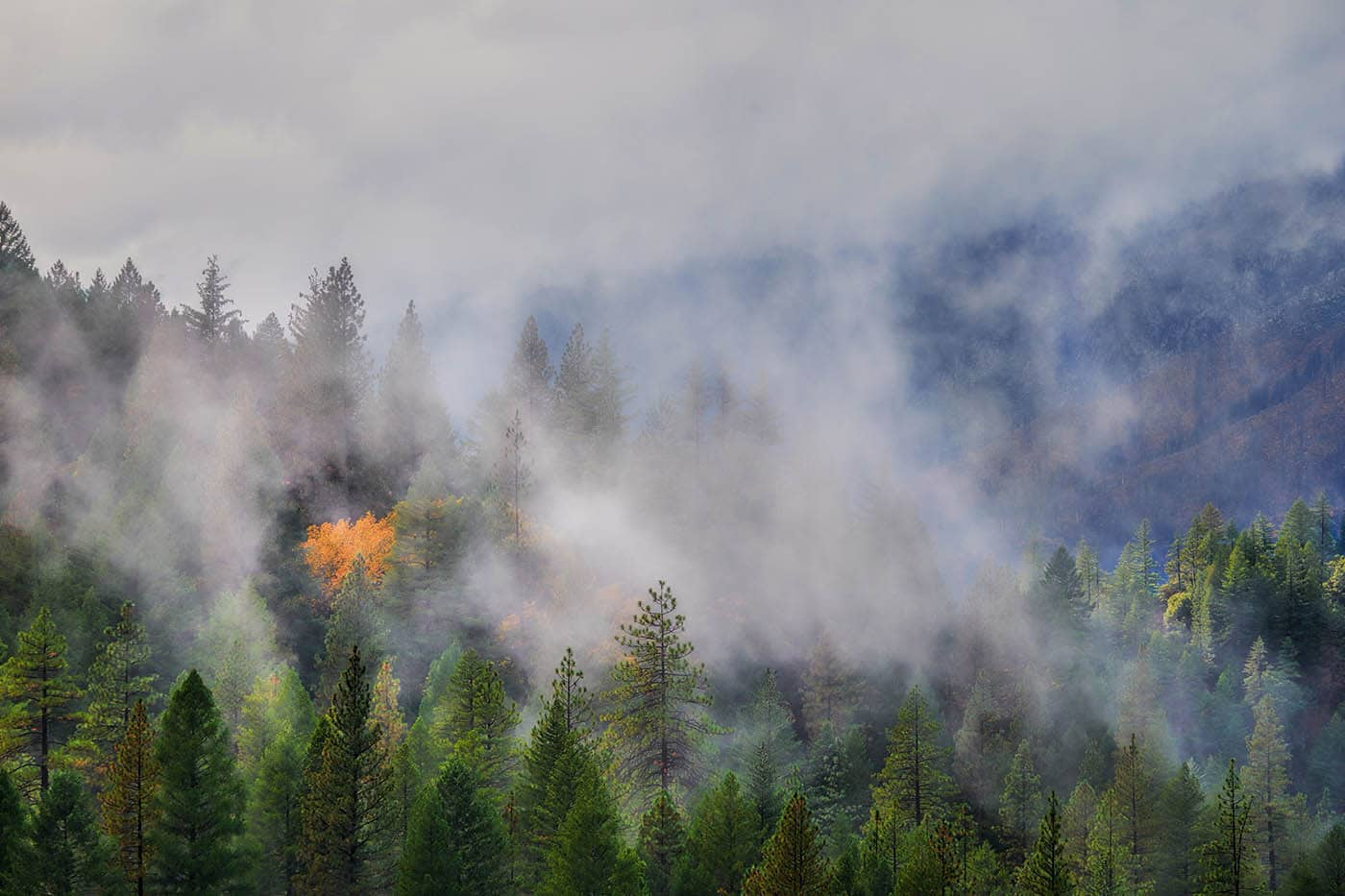 One tree with yellow leaves surrounded by evergreen trees in the Sierra Nevada Mountains after storm.