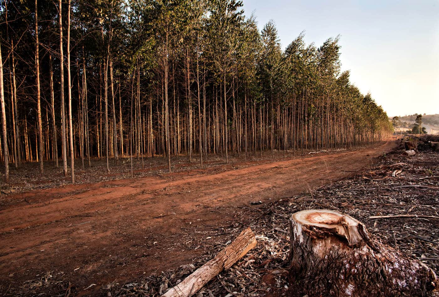 Tree farm in Swaziland